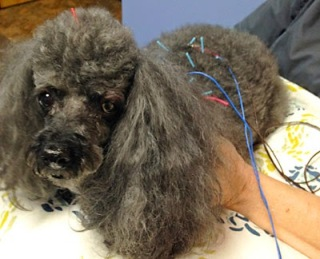 veterinary medical acupuncture